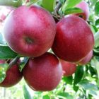 Apples-Coal Creek