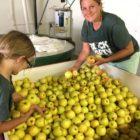 Apples sorting